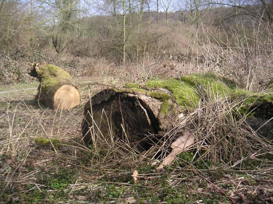 grosses Bild zeigen: Baumstämme in der Werreaue
